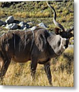 Greater Kudu Grazing Metal Print