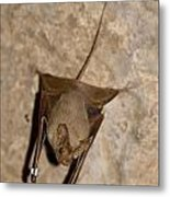 Greater Mouse-tailed Bat Rhinopoma Microphyllum Metal Print