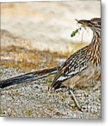 Greater Roadrunner With Nest Material Metal Print