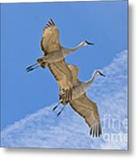 Greater Sandhill Cranes In Flight Metal Print