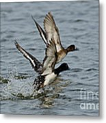 Greater Scaup Pair Metal Print
