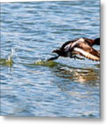 Greater Scaup Takes Flight Metal Print