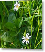 Greater Stitchwort Stellaria Metal Print