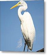 Greater White Egret Metal Print