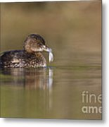 Grebe With Feather Metal Print