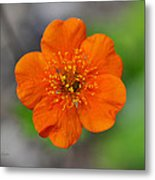 Grecian Rose Close 1 Metal Print by Roger Snyder