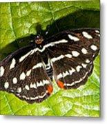 Grecian Shoemaker Butterfly Metal Print