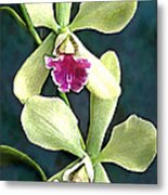 Green And Purple Cattleya Orchids Metal Print