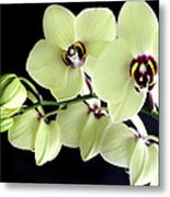 Green And Wine Hybrid Phalaenopsis Orchid Metal Print