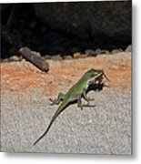 Green Anole Lizard Vs Wolf Spider  Metal Print