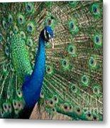Green Beautiful Peacock Metal Print