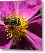 Green Bee Feeding On Rock Rose Metal Print