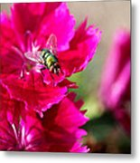 Green Bottle Fly On Dianthus  Metal Print