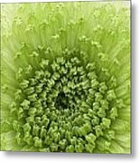 Green Chrysanthemum Metal Print by Lesley Rigg