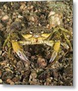 Green Crab Metal Print