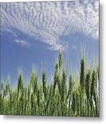 Green Crops Northwest Of Edmonton Metal Print