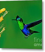 Green-crowned Woodnymph Metal Print