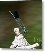 Green Damselfly  Metal Print