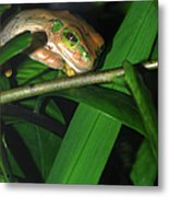 Green Eye'd Frog Metal Print