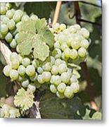 Green Grapes Growing On Grapevines Closeup Metal Print