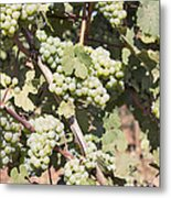 Green Grapes Growing On Grapevines Metal Print