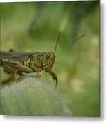 Green Grasshopper You Looking At Me Metal Print
