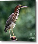 Green Heron 2 Metal Print
