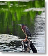 Green Heron Perch Metal Print