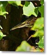 Green Heron Pictures 430 Metal Print
