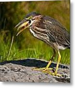 Green Heron Pictures 457 Metal Print