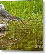 Green Heron Pictures 534 Metal Print