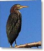 Green Heron Roosts Metal Print
