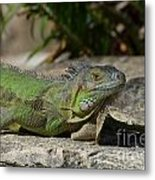 Green Iguana Lizard Metal Print