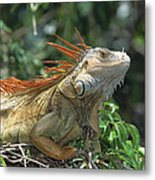 Green Iguana Male Portrait Central Metal Print