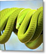 Green Mamba Coiled Up On A Branch Metal Print