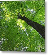 Green Maple Canopy Metal Print