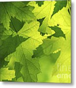 Green Maple Leaves Metal Print by Elena Elisseeva