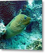Green Moray Eel With Cleaning Fish Metal Print