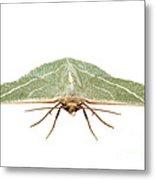 Green Moth Chlorissa Etruscaria Metal Print