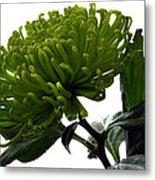 Green Shamrock Chrysanthemum. Metal Print