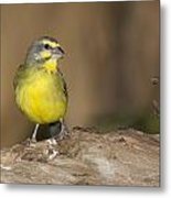 Green Singing Finch Metal Print
