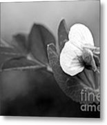 Green Sweet Pea Flower In Black And White Metal Print