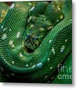 Green Tree Python Curled Metal Print