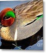 Green Winged Teal  Duck  Metal Print