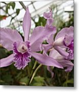 Greenhouse Ruffly Orchids Metal Print