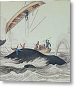 Greenland Whale Book Illustration Engraved By William Home Lizars  Metal Print