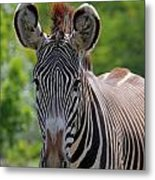 Grevy Zebra Metal Print
