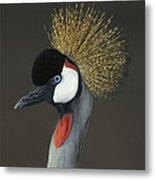 Grey Crowned Crane Portrait Metal Print