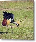 Grey Crowned Crane. The National Bird Of Uganda Metal Print