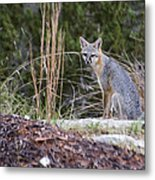 Grey Fox At Rest Metal Print